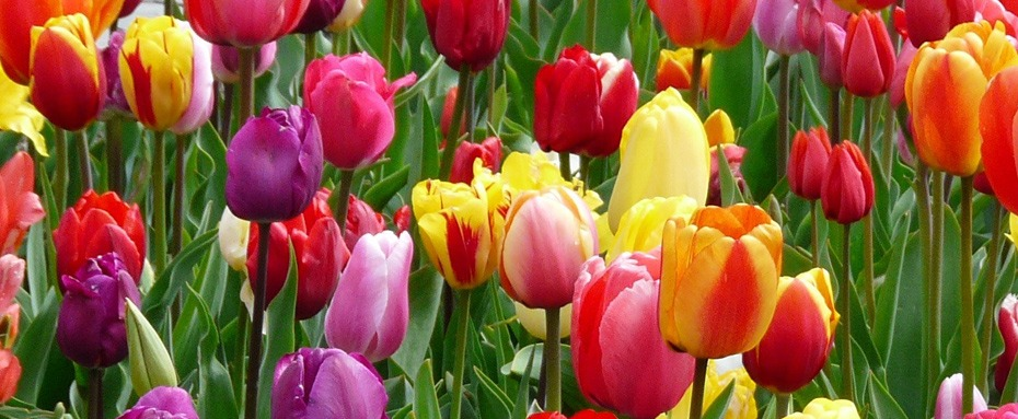Tulip Field, Spring Ahead